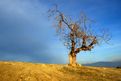 Alone tree blue sky Stock Image
