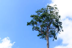 Alone tree with blue sky. And white cloud Royalty Free Stock Photo