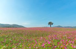 Alone tree on cosmos plantation and meadow. With Blue Cloudy Sky in summer day Stock Photo