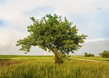 Alone tree. Countryside landscape with alone tree in grass field, Poland royalty free stock image