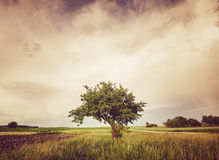 Alone tree. Countryside landscape with alone tree in grass field, Poland royalty free stock photos