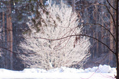 Alone tree covered with hoarfrost in pine forest. Alone tree covered with hoarfrost in winter pine forest Stock Images
