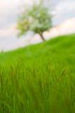 Alone tree on field Stock Photo