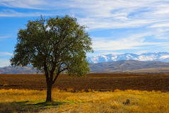Alone tree in field Royalty Free Stock Photo