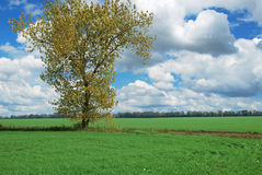 Alone tree in field Stock Images