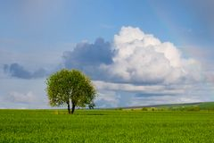 Alone tree in the field Royalty Free Stock Image