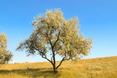 Alone tree. On the field royalty free stock photo