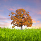 Alone tree in the field Stock Image