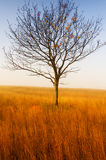 Alone tree on the field with dry grass. In autumn Royalty Free Stock Photo
