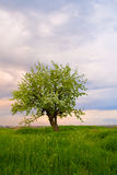 Alone tree on field at sundown Royalty Free Stock Images