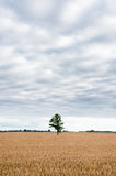 Alone tree in the field of wheat Royalty Free Stock Photos