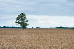 Alone tree in the field of wheat Stock Photo