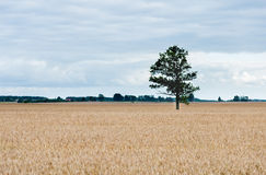 Alone tree in the field of wheat Stock Images