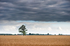Alone tree in the field of wheat. Stromy Cloudy Blue Sky Stock Photo