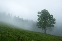 Alone tree in the fog. Beautiful Carpathian mountains in summer time, Ukraine, Europe Stock Photos