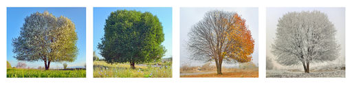 Alone tree in four season. Panorama Royalty Free Stock Photos