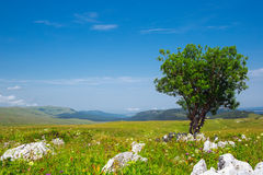 Alone tree. In green field Stock Photography