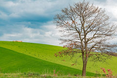 Alone tree. In green field Stock Photos