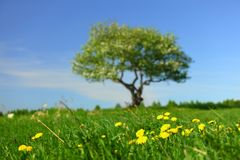 Alone tree. On green grass field Stock Photography
