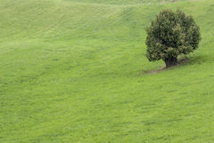 Alone tree on green meadow. Royalty Free Stock Image
