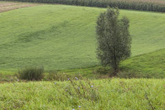 Alone tree on green meadow. Stock Photo