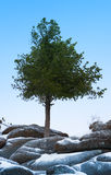 Alone tree grow over blue sky on stone Stock Photos