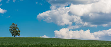 Alone birch on the horizon. Betula. Solitary tree in green cornfield. Under a blue sky with white clouds royalty free stock photos