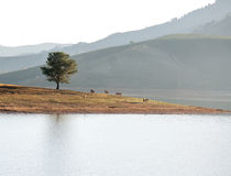 Alone tree in the Lake, the wildhorse eating glass near lake Dalat city - in LamDong- VietNam Stock Photos