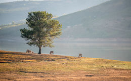 Alone tree in the Lake, the wildhorse eating glass near lake Dalat city - in LamDong- VietNam Royalty Free Stock Photography