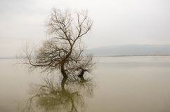 Alone tree in a lake, winter season,reflection. There is a gray background Royalty Free Stock Photos