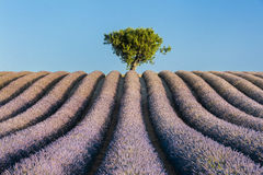 Alone tree in lavender field Royalty Free Stock Photography