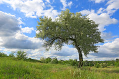 Alone tree on meadow Royalty Free Stock Images