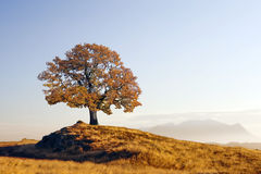 Alone tree. On meadow at sunset Royalty Free Stock Photo