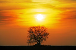 Alone tree on meadow at sunset with sun Stock Image