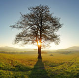 Alone tree on meadow at sunset with sun and mist - panorama Royalty Free Stock Image