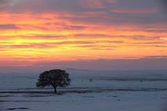 Alone tree on meadow at sunset at winter. Beautiful winter sunset with tree in the snow Royalty Free Stock Photography