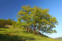 Alone tree in mountain Stock Photography