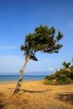 Alone tree near sea shore Stock Image