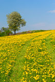 Alone tree and path in dandelion meadow. Path and alone tree in dandelion meadow Royalty Free Stock Images