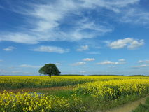 Alone Tree in a Rapeseed Field Royalty Free Stock Images