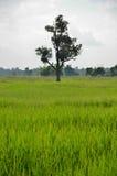 Alone tree among rice field Stock Photo