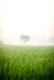 Alone tree in rice fields Royalty Free Stock Images