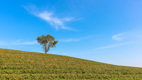 Alone tree on tea plantation and meadow with Blue Cloudy Sky. In summer day Royalty Free Stock Image