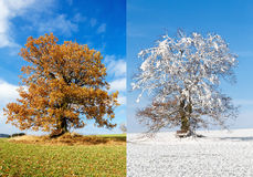 Alone tree on two season. Orange autumn tree on a green meadow and blue sky with clouds and with snow in frosty day Stock Images