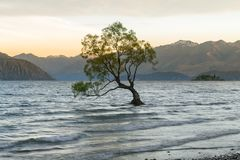 Alone Tree on Wanaka lake with mountain background. New Zealand natural landscape background Stock Photography