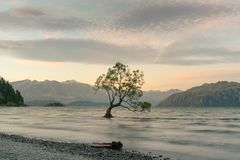 Alone tree on Wanaka water lake with mountain background. New Zealand natural landscape Royalty Free Stock Photo