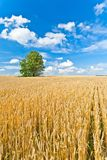 Alone tree in wheat field Royalty Free Stock Photos