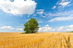 Alone tree in wheat field Royalty Free Stock Photography