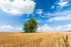 Alone tree in wheat field Royalty Free Stock Image