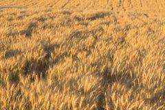 Alone tree in wheat field Stock Photo